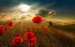 poppies-flower-wide-hd-wallpaper-free-download-flower-pictures