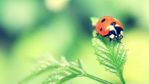 ladybird_on_a_leaf-wallpaper-1366x768