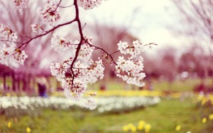 White-Tree-Spring-Wallpaper