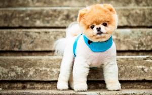 boo_the_cutest_dog-wide