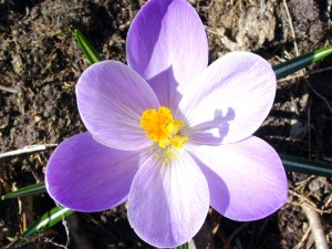 crocus_flower_spring-spring-summer-autumn-rose-wallpaper-free-download