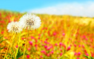 spring-dandelions-wide