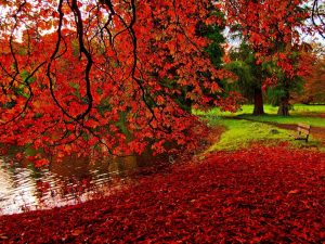 Red-Leaves-In-Autumn-Maple