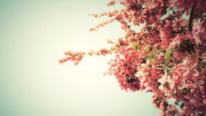 spring-tree-blossoms-wallpaper-spring-tree-blossoms-hd