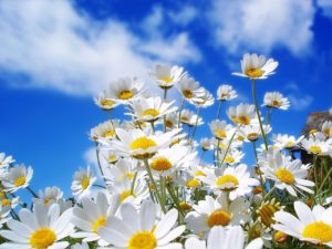ewallpapers-daisies-free-spring-wallpapers-585820c43df78ce2c3b488fe